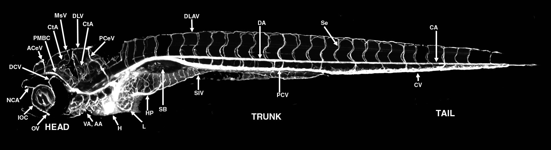 Vascular Anatomy of the 3-3.5 dpf Zebrafish