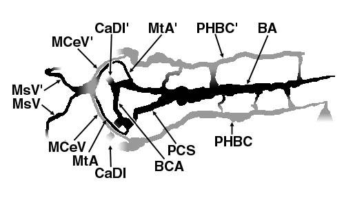 Vascular Anatomy Of The 2 Dpf Zebrafish