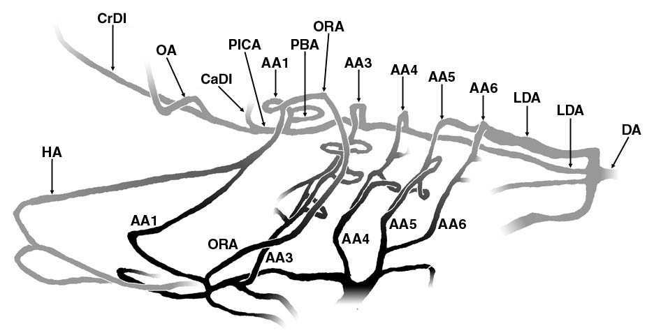 An Interactive Atlas Of Zebrafish Vascular Anatomy